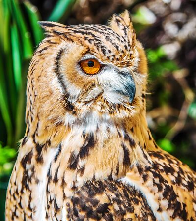 Bird of prey owl close up