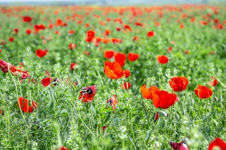 Flowers red steppe poppies large