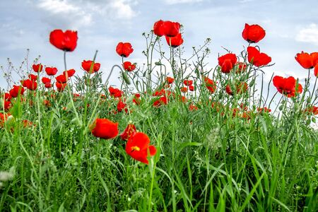 A field with red steppe poppies landscape of the Kazakh steppe in spring