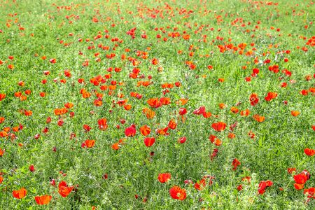 Field with red steppe poppies landscape