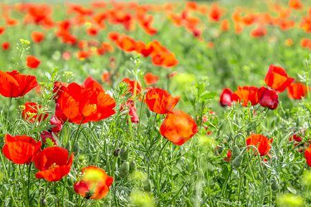 Blumen roter Steppenmohn groß