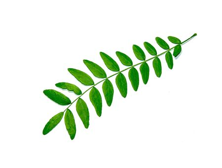 Green branch of an acacia plant on a white background