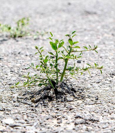 Green grass grows from under the asphalt