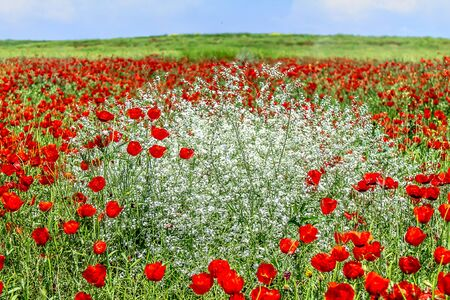 Field with red poppy flowers in spring landscape