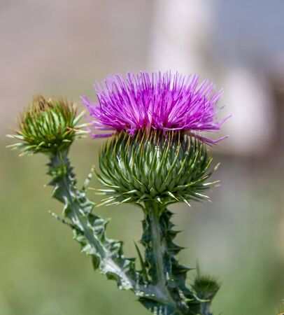 Thistle plant thistle flower in nature close up