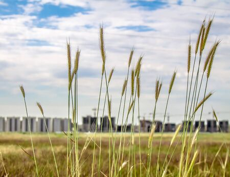 Ears of wheat weed grass against the background of tall buildings under construction landscape
