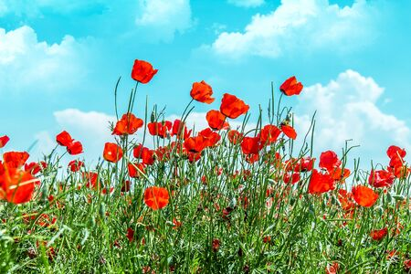 Field with red flowers steppe poppies in spring against the sky with clouds. Stock Photo