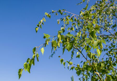 Branch of birch tree against the sky close up