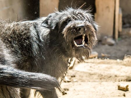 Angry black dog barking on a chain