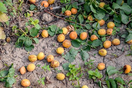 Fallen apricot fruit on the ground after a strong wind