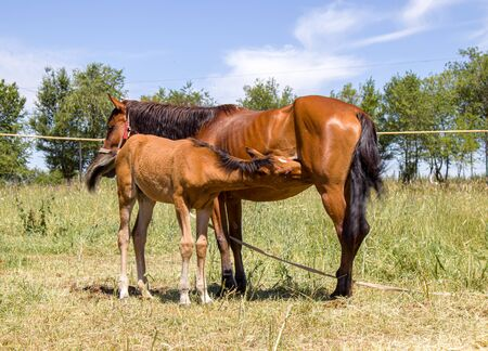 The foal sucks milk from a horse in nature. The concept of breeding horses.
