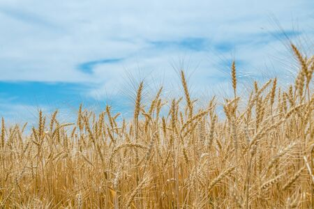 Ears of wheat on the field against the sky. Rural landscape. The concept of growing crops.