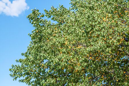 Fruit tree with apricot apricot fruits against the sky Banco de Imagens