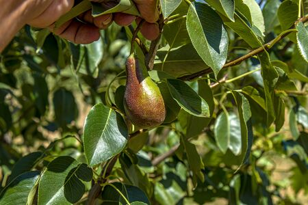 Green branch of a pear plant in nature close up