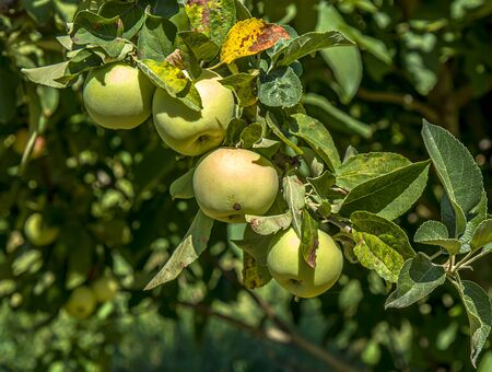 Green apple tree branch in nature close up Banco de Imagens
