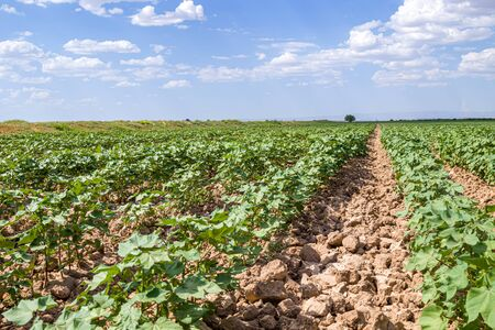 A field with green cotton in the spring in nature landscape. Agriculture in Asia.