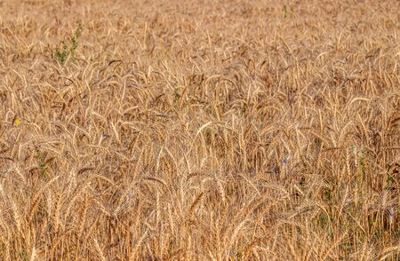 Field with wheat in nature rural landscape 写真素材 - 128776825