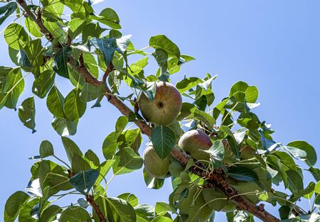 Pear fruit on the tree against the sky
