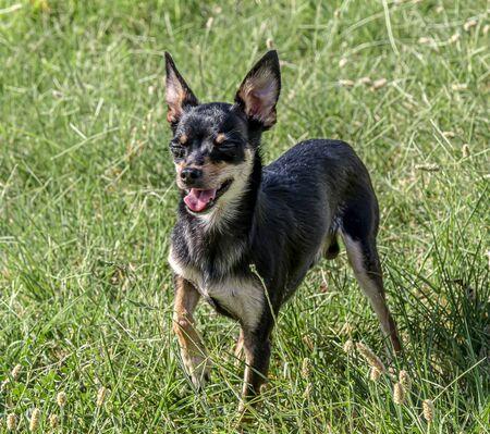 Dog breed miniature pinscher on the grass Banco de Imagens
