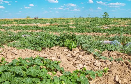 A field with watermelons melons in a nature landscape. Agriculture in Asia.