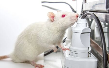 Animal White rat with red eyes on the table Banco de Imagens