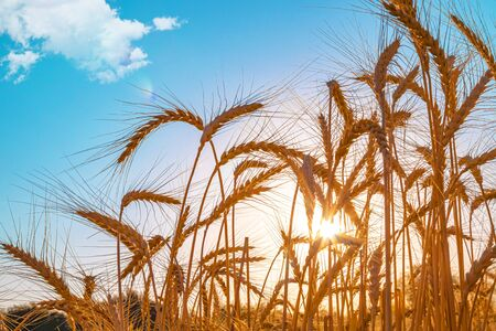 Field with wheat on the background of the sun in nature