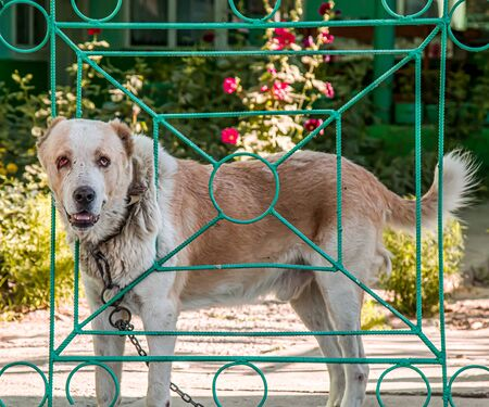 Angry dog barking near the gate on the street