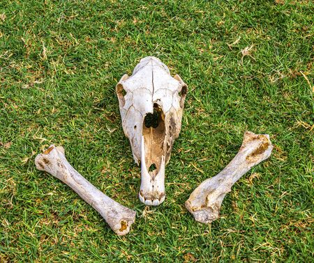 Horse head bones on green grass in nature Stock fotó