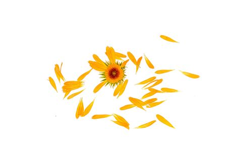 Yellow flower petals calendula isolated on white background close-up