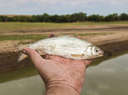 Fish roach in hand close-up Reklamní fotografie