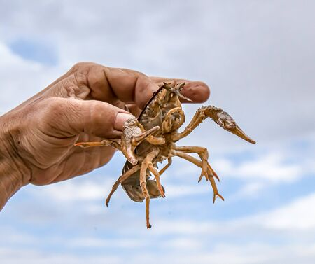 Live crayfish in the hand close-up