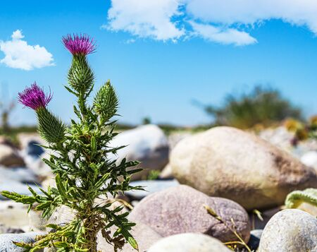 Thistle plant against the background of stones and sky