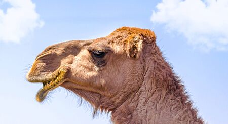 Camels in nature close-up against the sky Foto de archivo