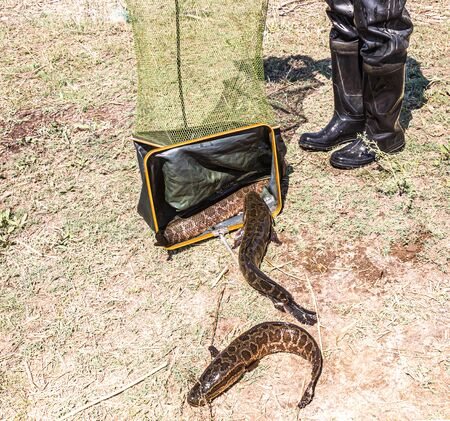 Caught predatory snakehead fish on the shore 写真素材