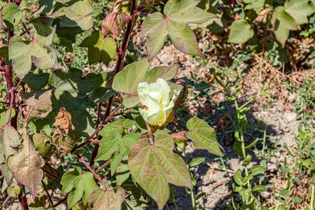 Cotton plant grows in nature