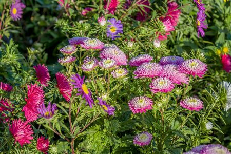 Bright aster flowers on the flowerbed as a background for design