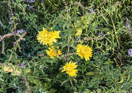 Yellow flowers in green mint