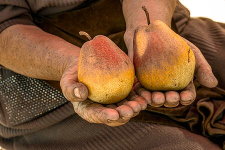 Ripe pears in the hands of a farmer