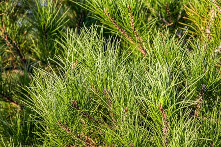 Coniferous branches as a background close-up 写真素材
