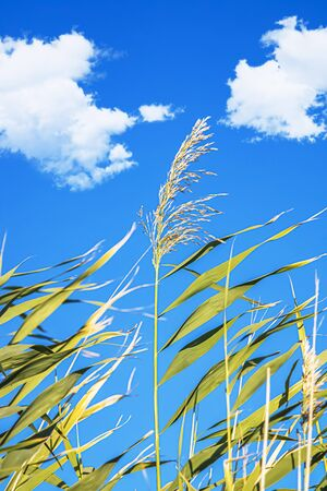 Dry cane reeds in the wind against the sky