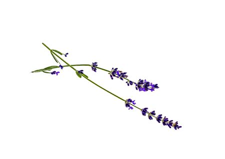 A sprig of lavender plants on a white background 写真素材