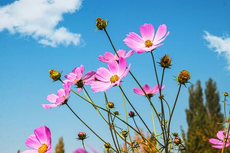 Bright cosmea flowers against the sky 写真素材 - 132028063