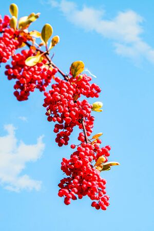 Bunches of wild red berries against the sky