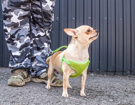 A dwarf pincher breed dog guards the owner.Chihuahua dog guards the owner