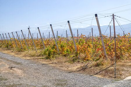 Vineyard in the fall against the backdrop of mountains and sky. Landscape