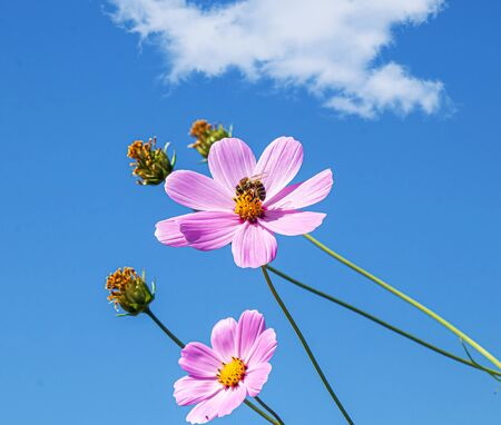 Bright cosmea flowers against the sky