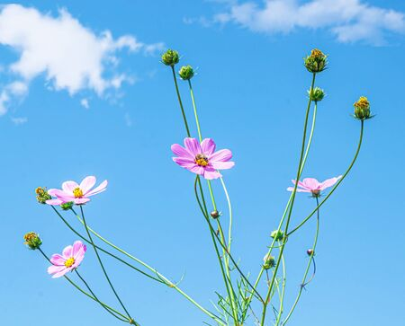 Cosmea flowers in nature against the sky. Selective focus