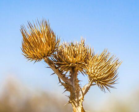 Dry plant thistle on a hillock