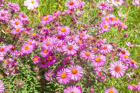 Bright autumn september flowers close-up