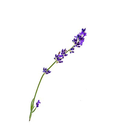 A sprig of lavender plants on a white background